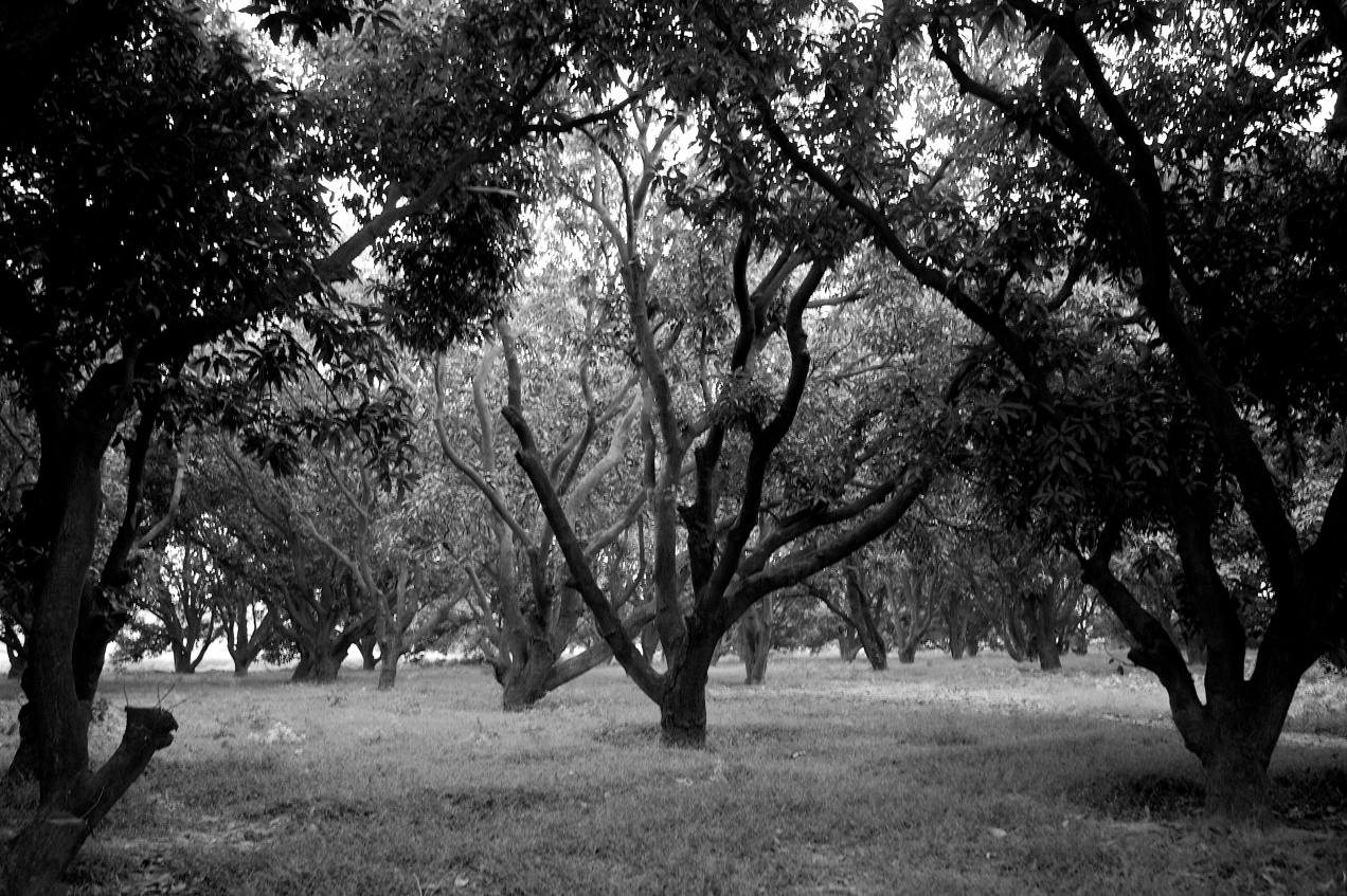 Une plantation de manguiers près de Moradabad en 2009 Photo Gilles Dallière