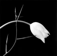 1524_Tulip_1985_web0