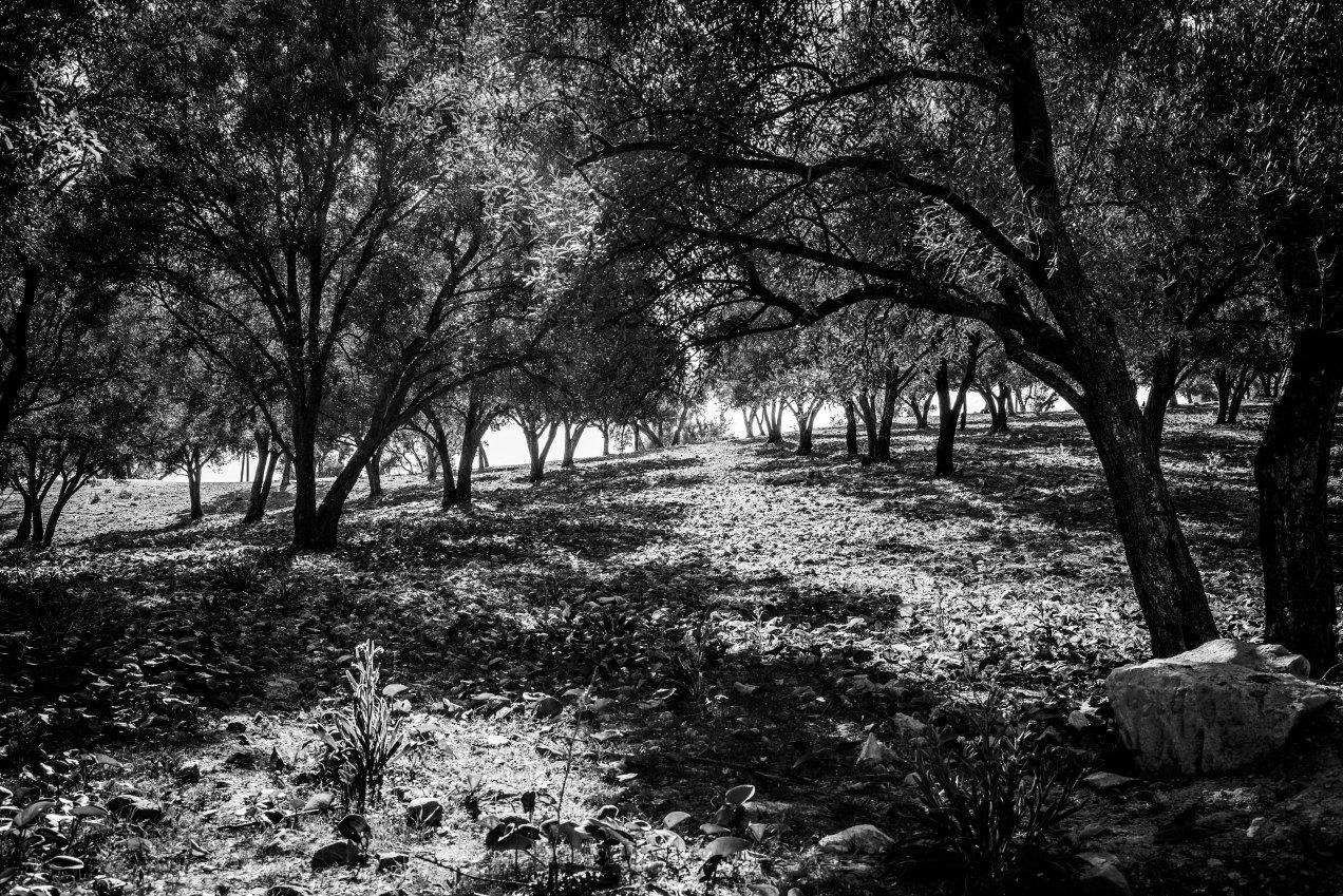 Champs d'oliviers, Fès, Maroc, gildalliere, 2020
