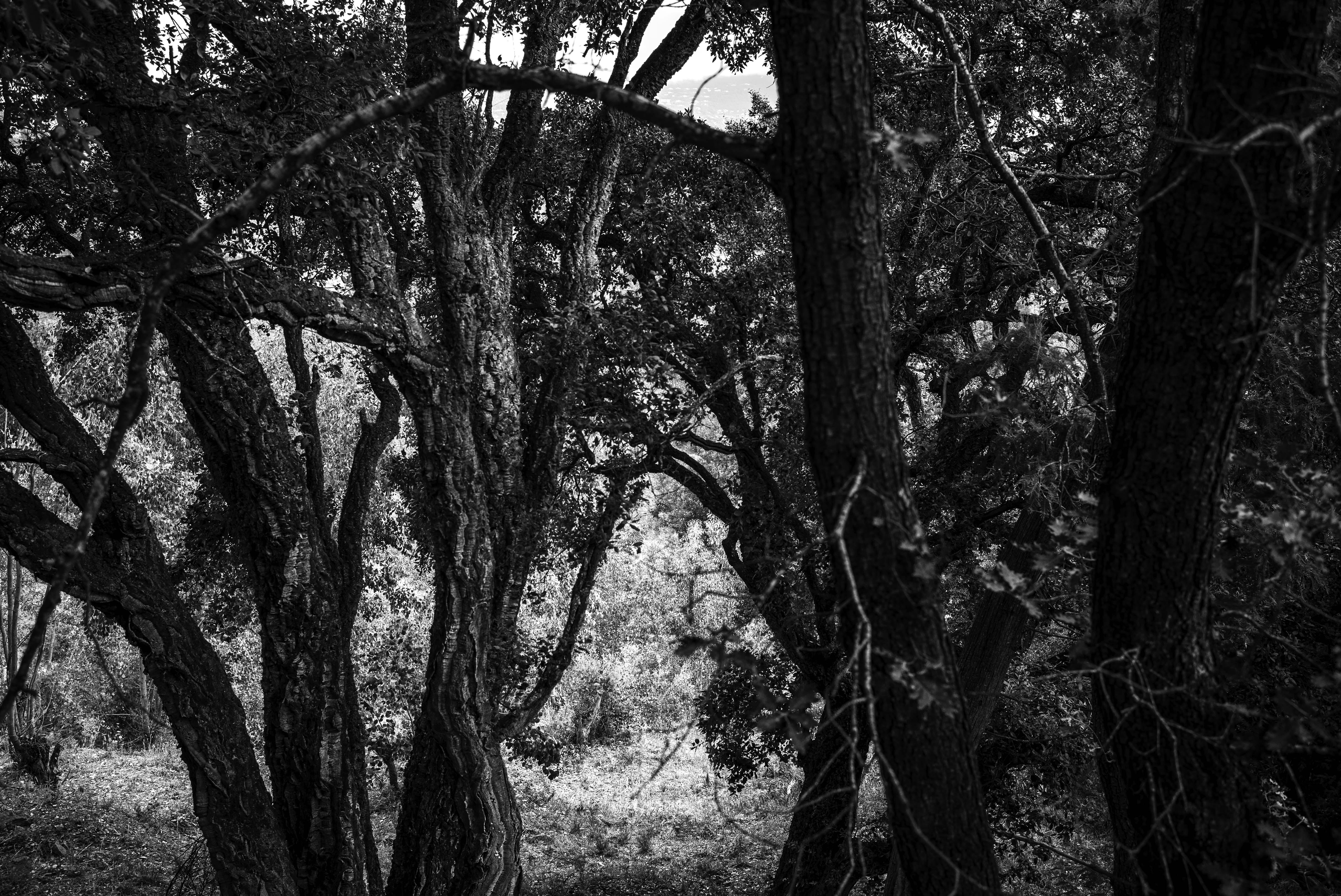 Sous bois, route de Tanneron, gildalliere, 2020